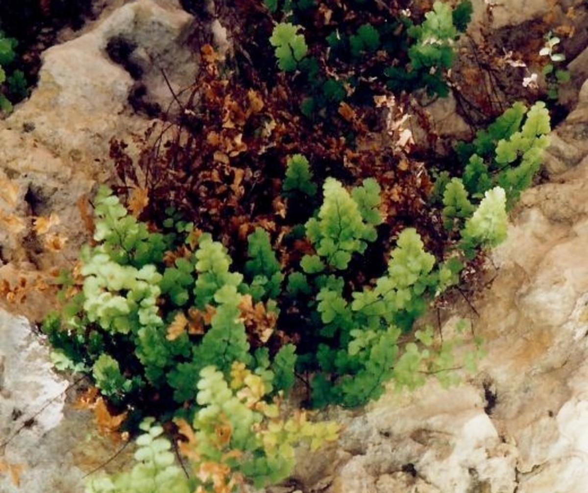 Some ferns growing in the Grotto area of McKittrick Canyon