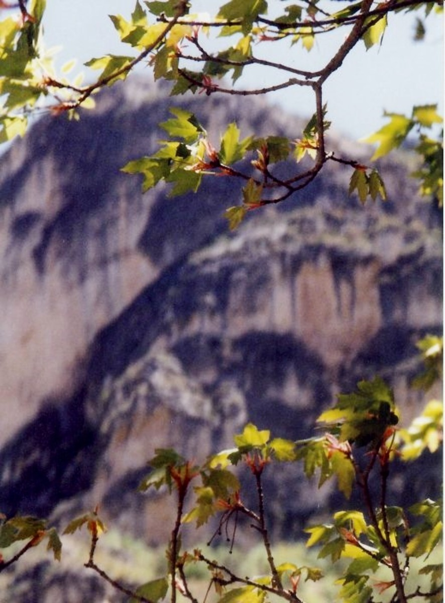 Closeup photo of some tree leaves that would become very colorful in the Fall of the year in McKittrick Canyon.