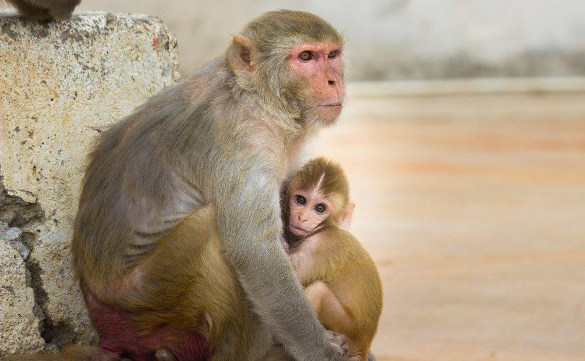 The Diseased Monkeys of Silver Springs, Florida