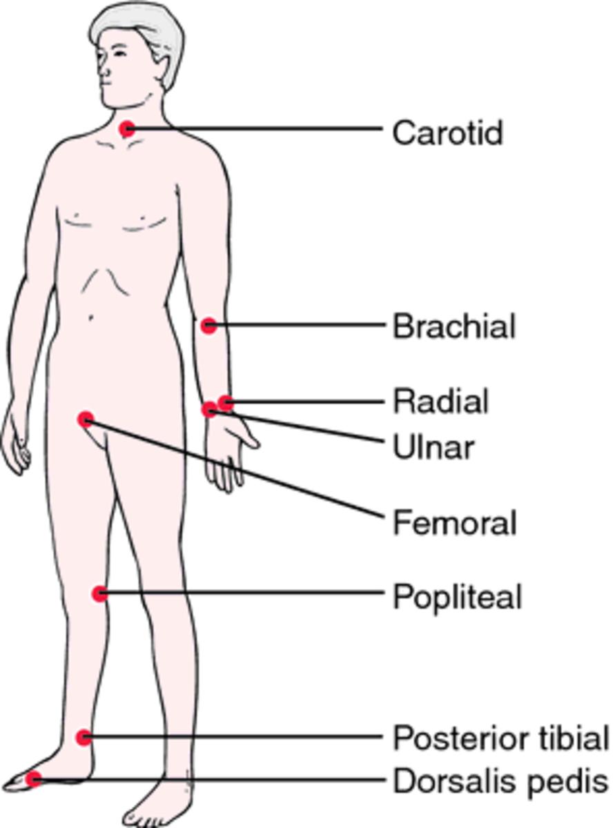Sites where the arterial pulse can be felt superficially.