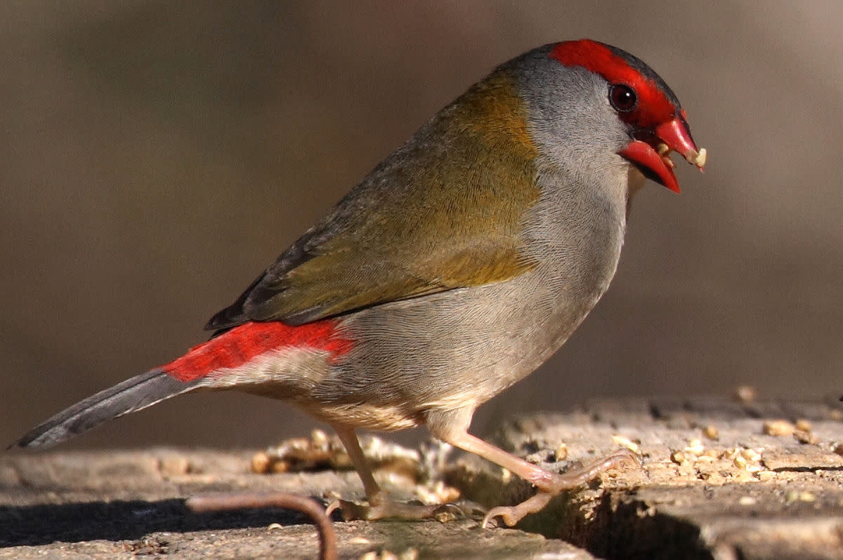 Australian songbird - Red Browed Finch
