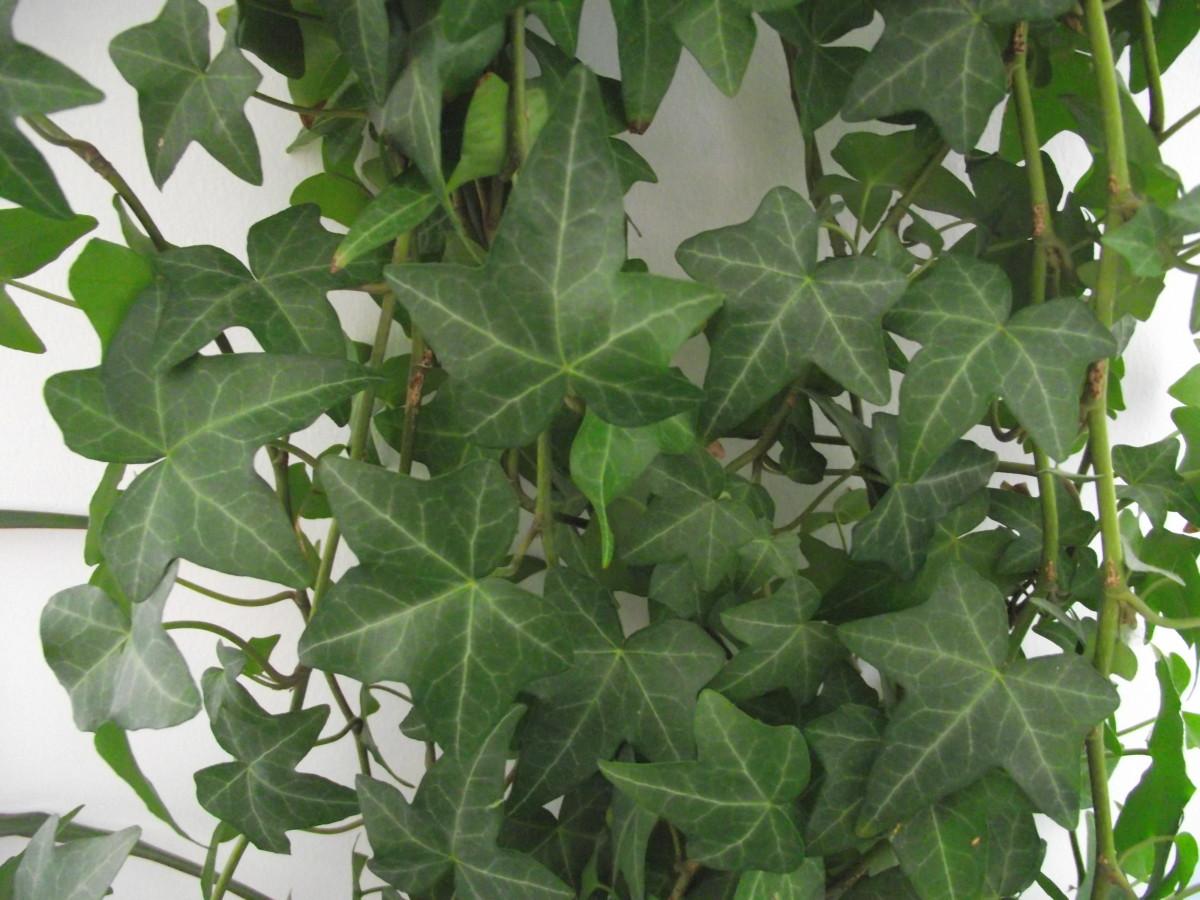 English Ivy close-up