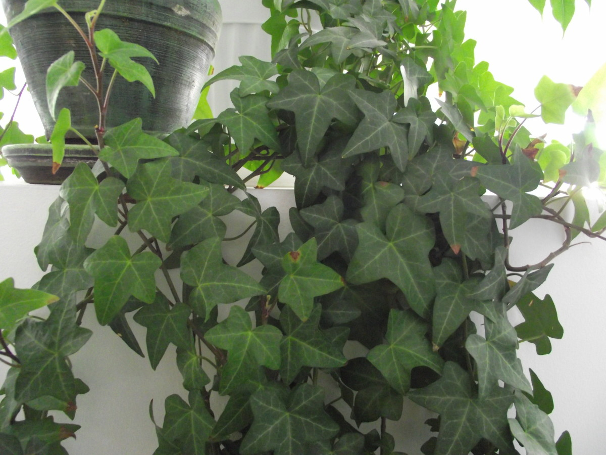 English Ivy (Hedera helix L.) - growing indoors.