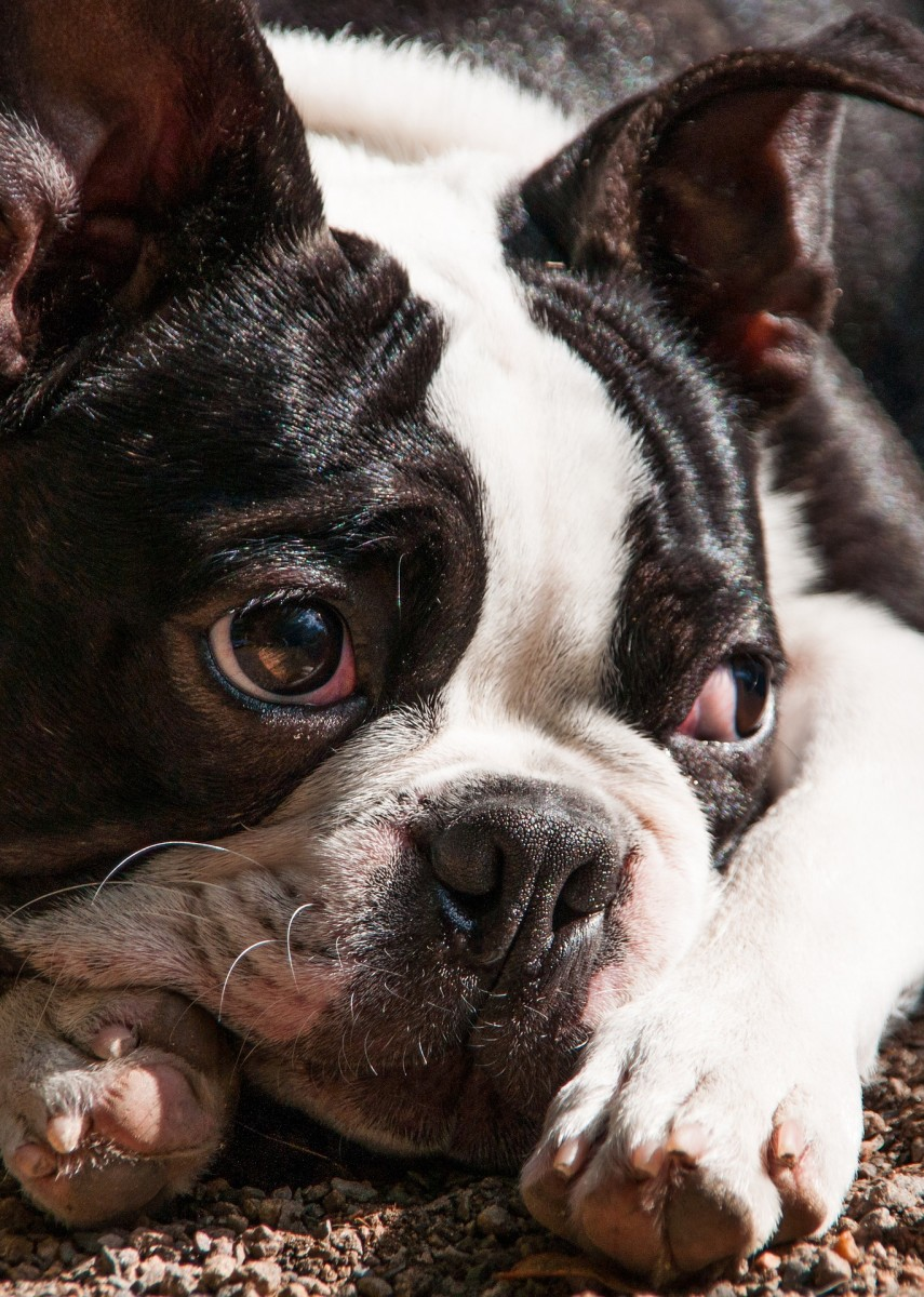 An expressive and peaceful Boston Terrier.