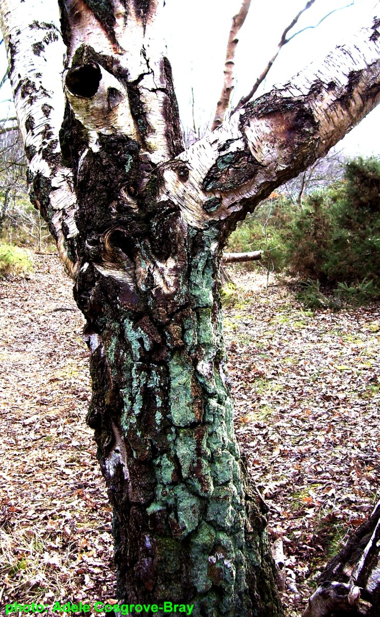Lichens cling to a stately silver birch.