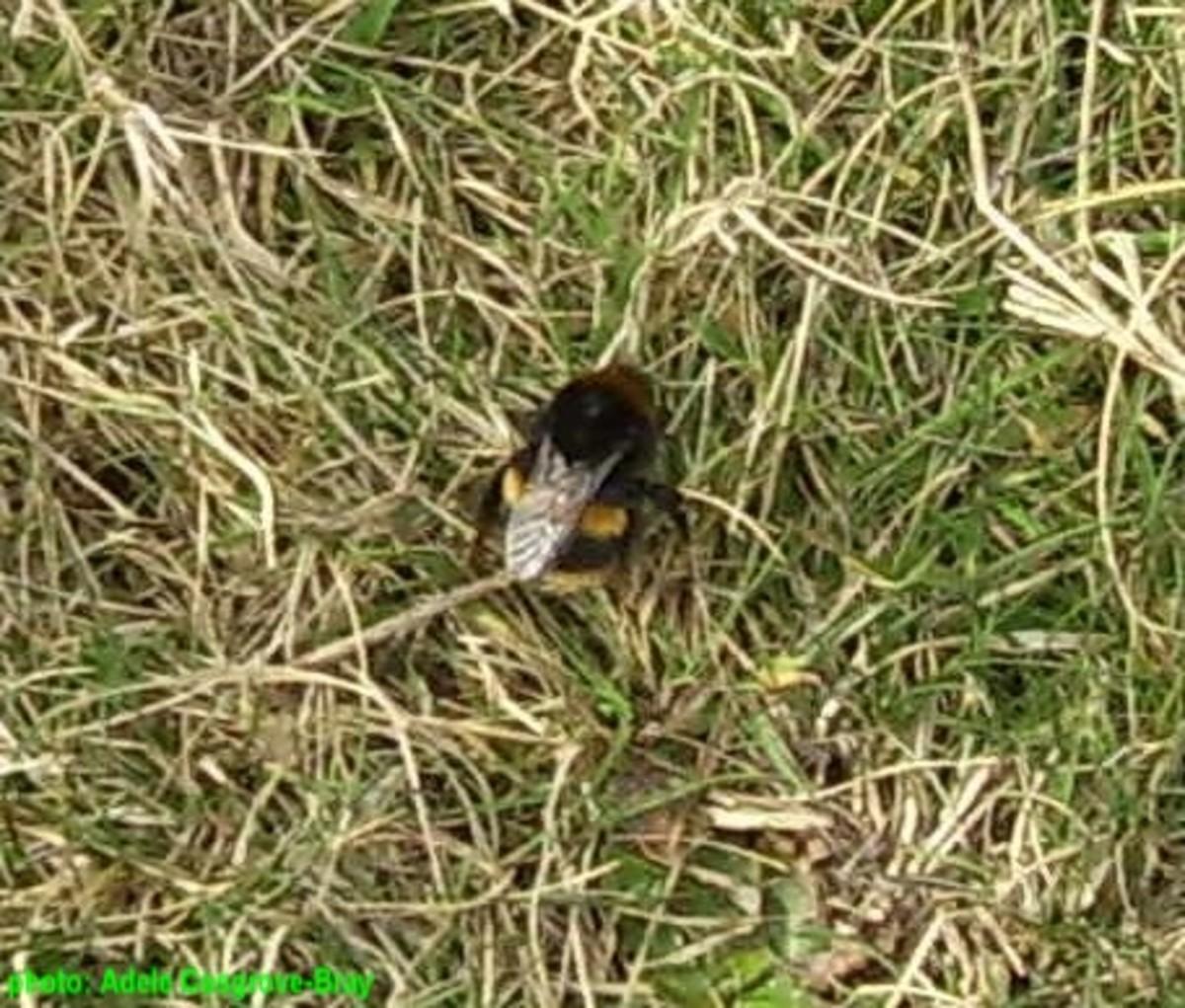 Queen bee emerging from her winter hibernation.