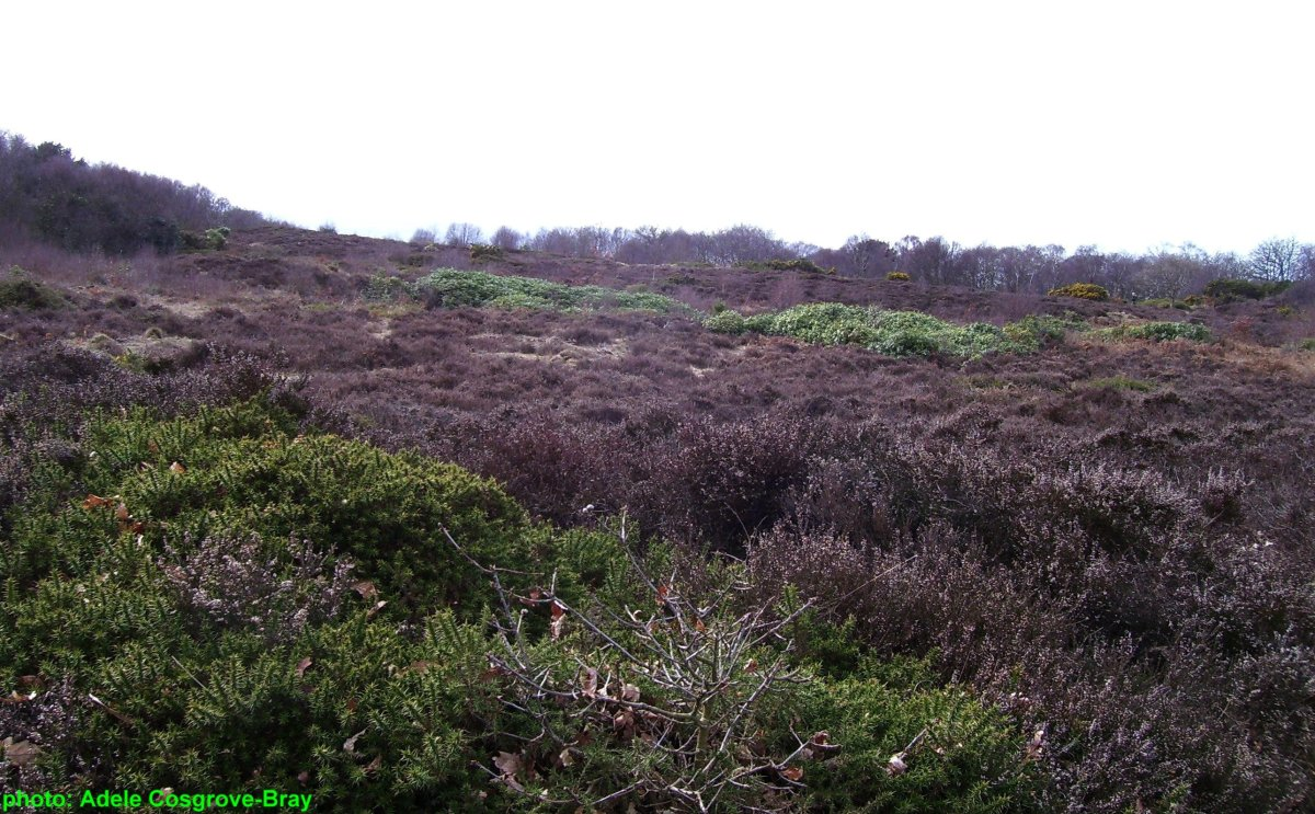 Heather grows freely on Caldy Hill's summit, giving a home to lizards and snakes.