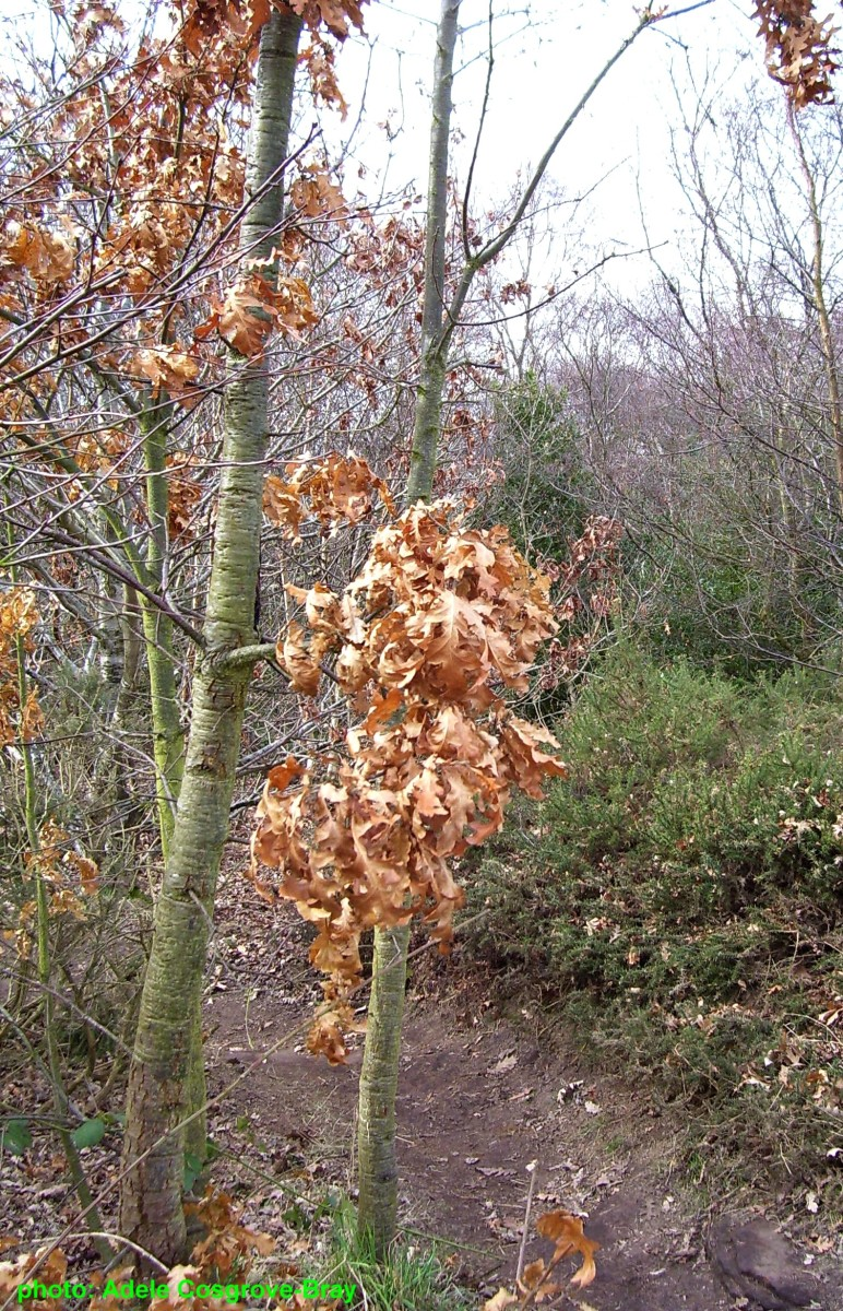 A young oak clings to last year's leaves.