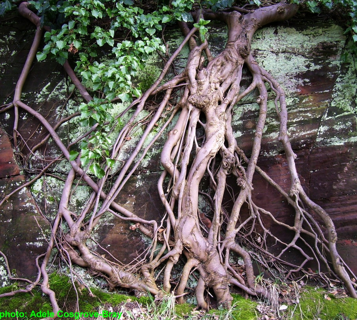 A marriage of root and rock.