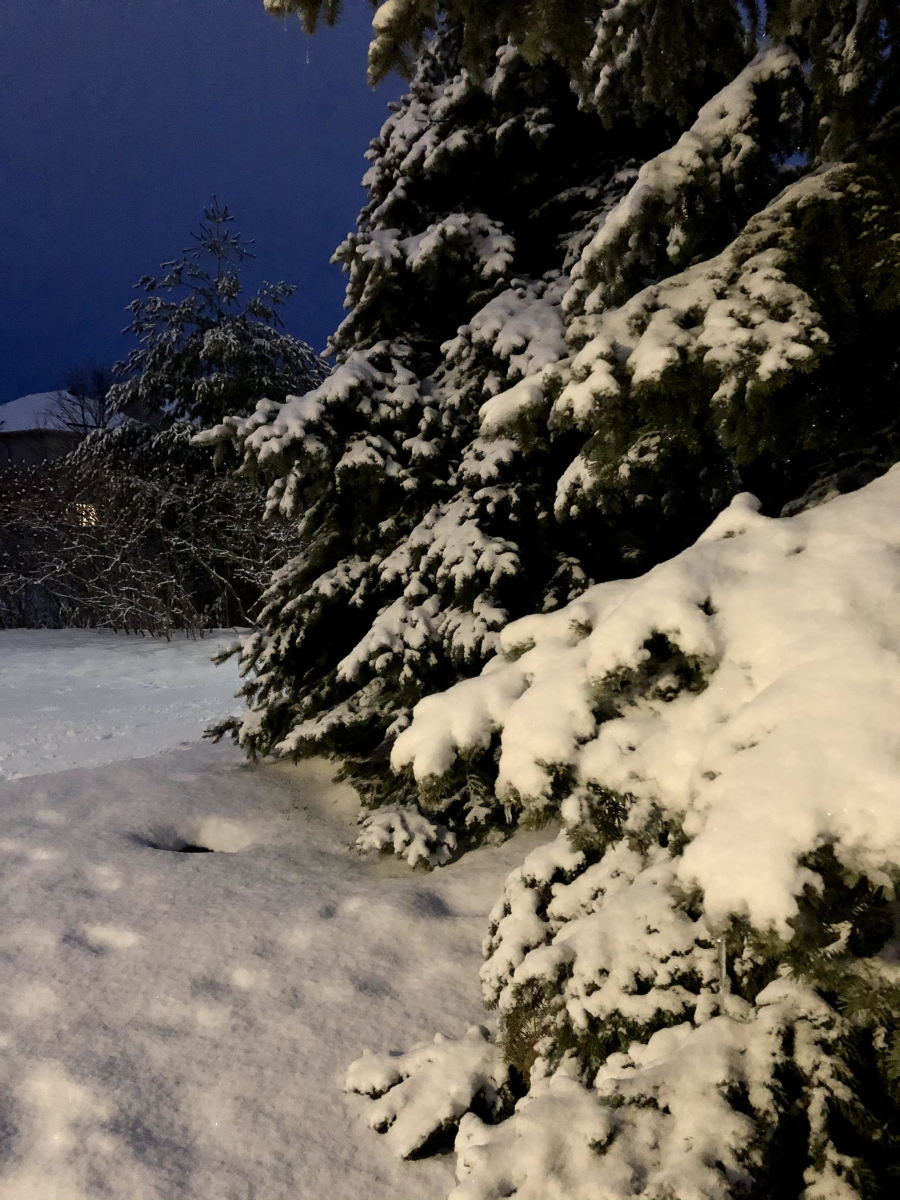 Evergreen blanketed in snow