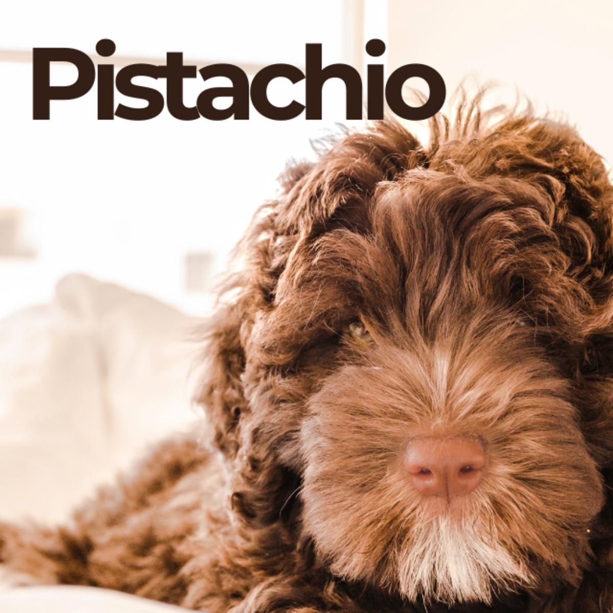 Puppy named Pistachio