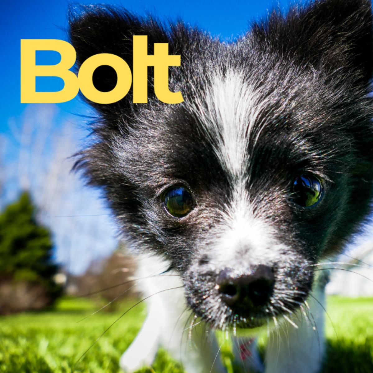 Puppy named Bolt
