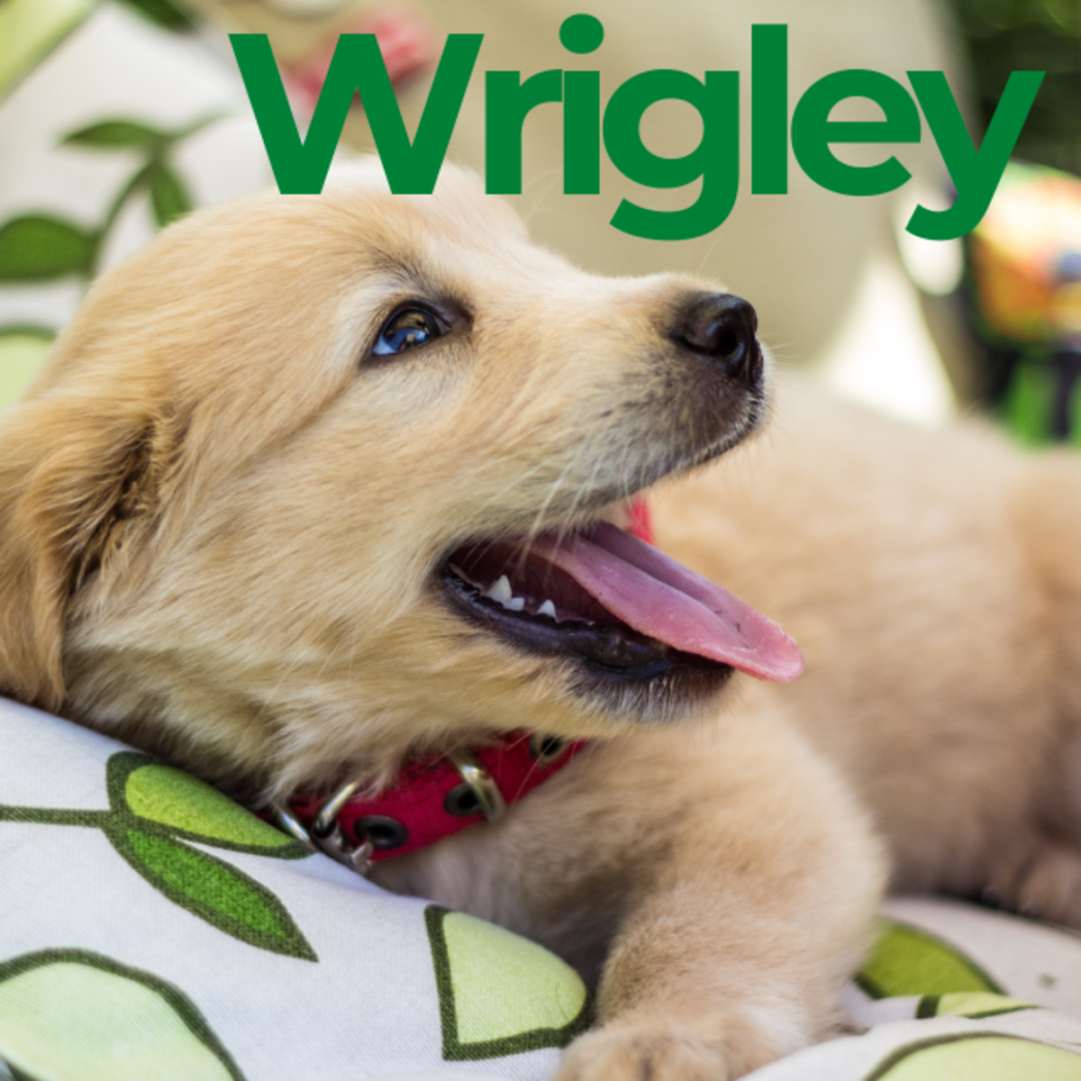 Puppy named Wrigley