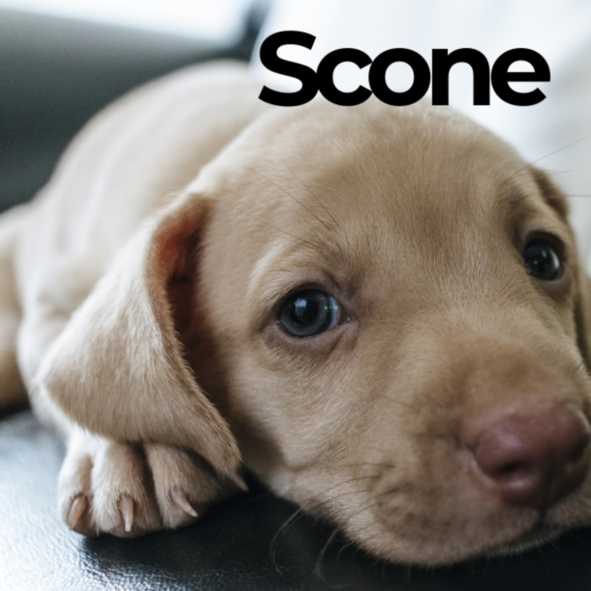 Puppy named Scone