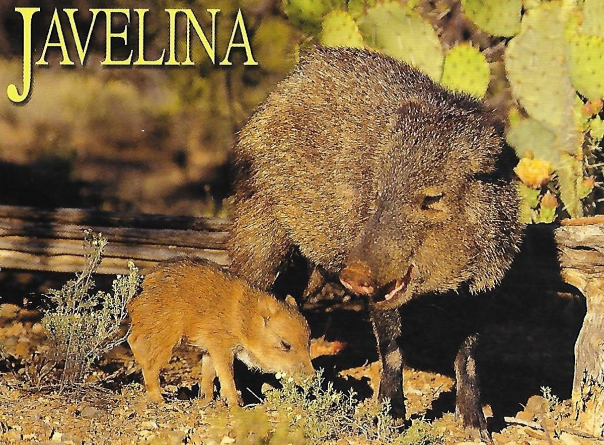 i-am-not-a-pig-javalinas-and-peccaries-of-the-southwestern-desert