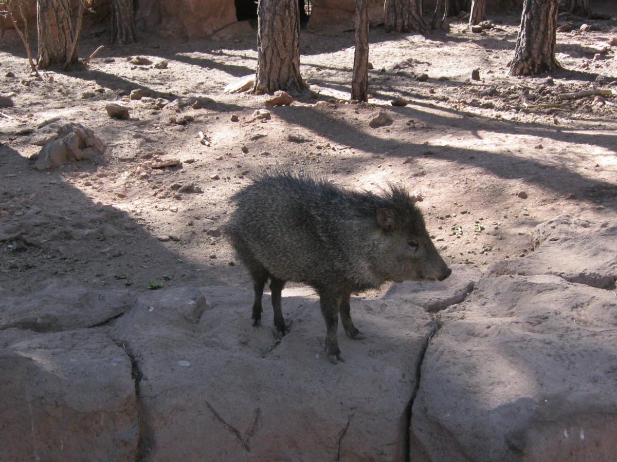 Javelina Enclosure in Berizona Animal Park in Williams Arizona