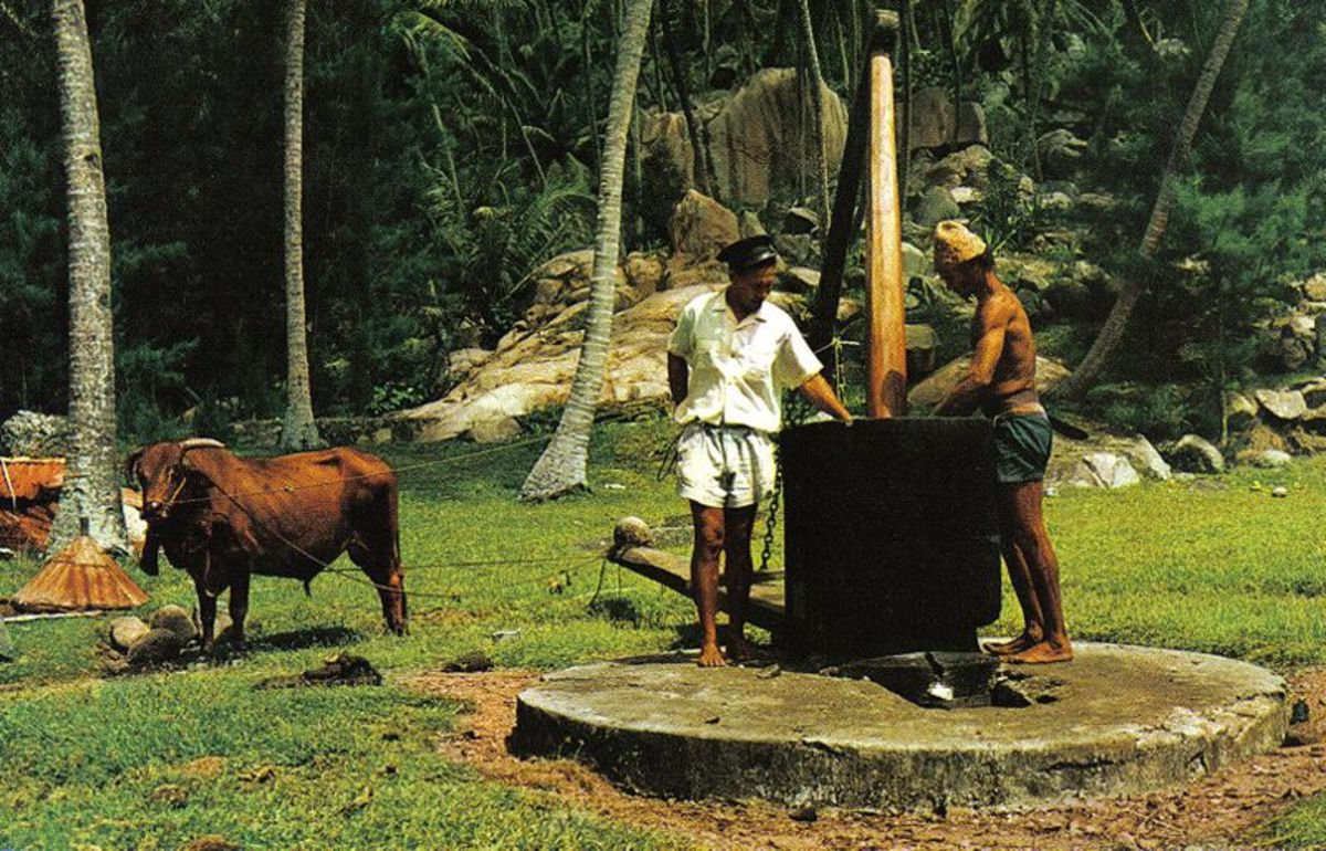 Making coconuts using a coconut oil mill from dried coconuts--not fresh. Public Domain photo at: http://commons.wikimedia.org/wiki/File:Coconut_oil_making_Seychelles.jpg.
