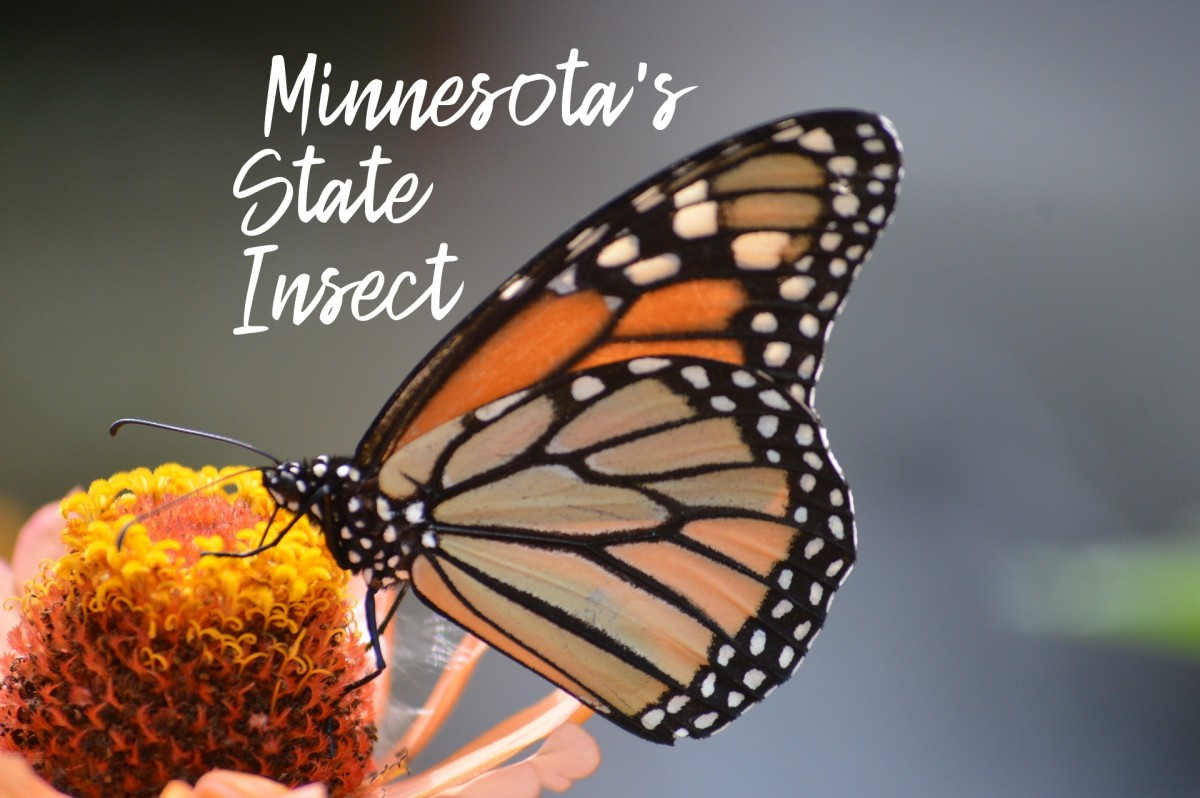 The monarch became the state insect of Minnesota in 2000 after a successful campaign by a fourth-grade class at Anderson Elementary.