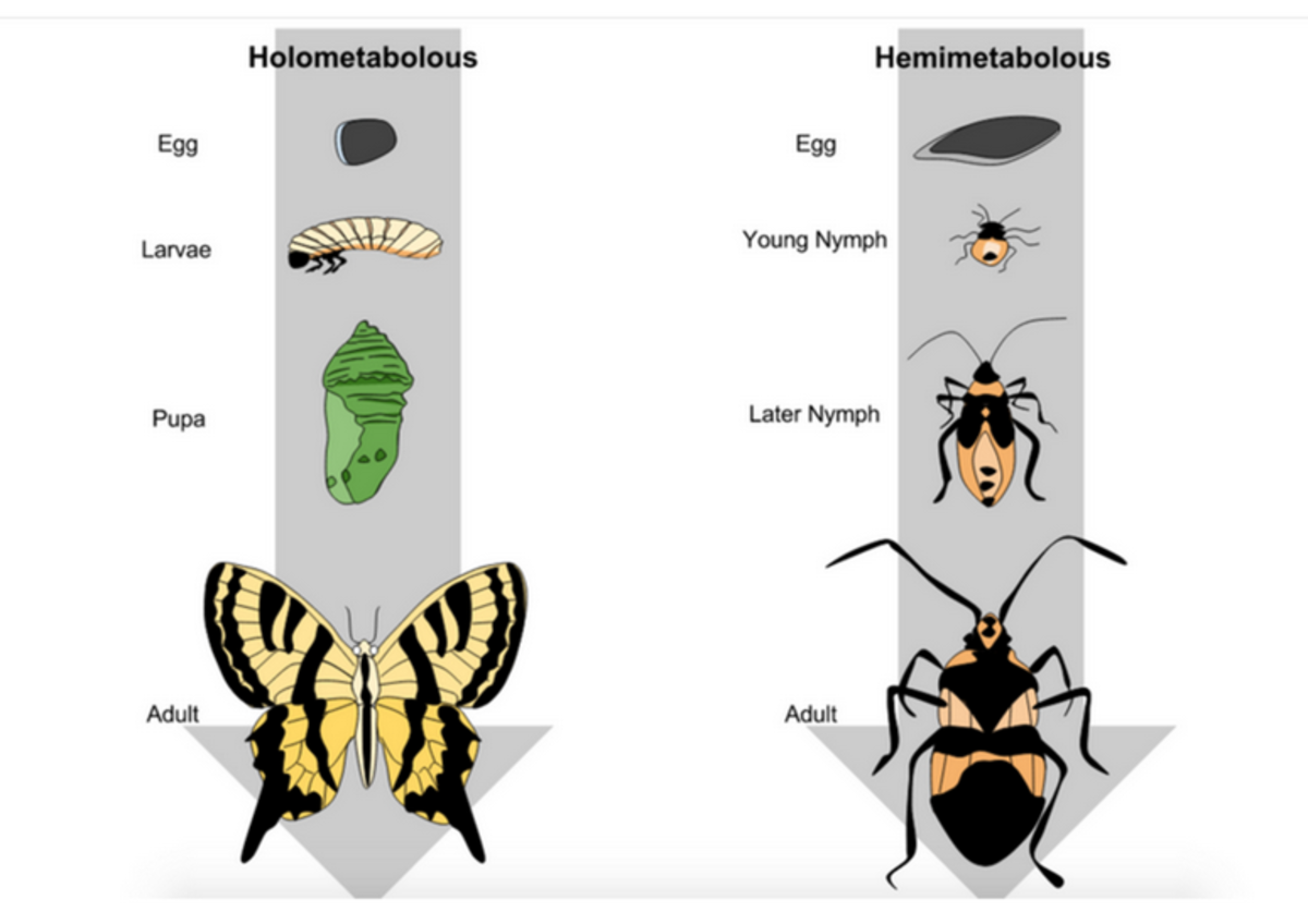 This graphic illustrates complete metamorphosis.