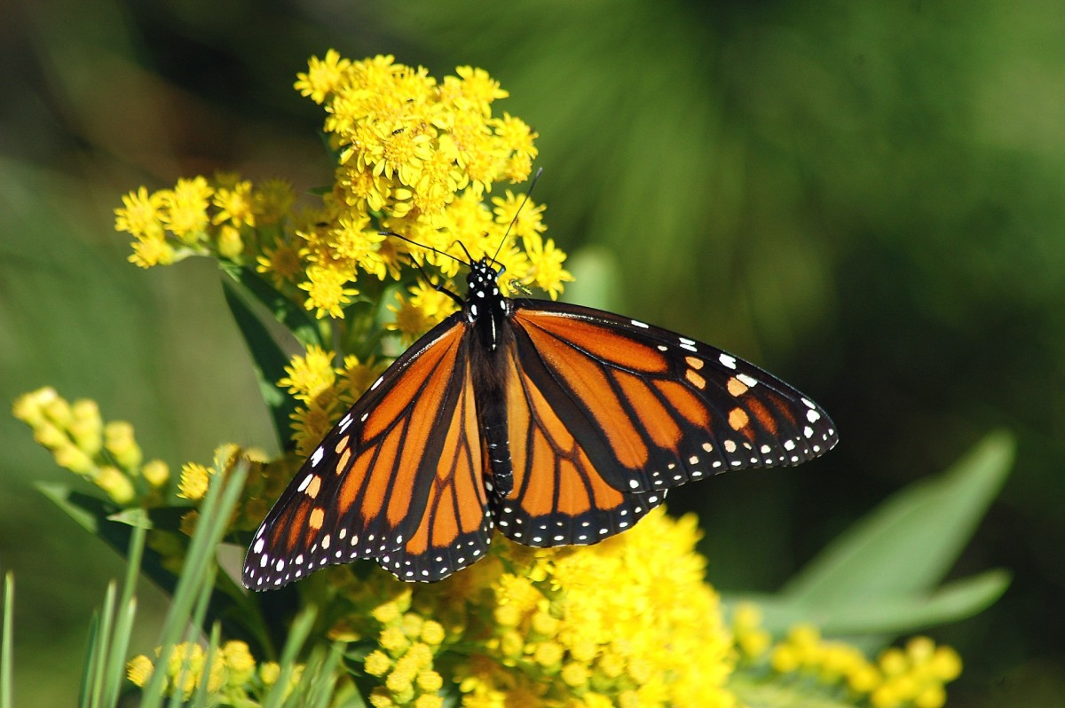 Monarchs migrate annually to Mexico where they roost on trees in the millions.