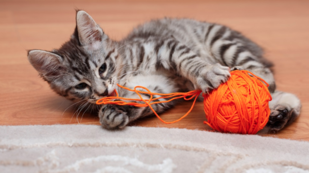 Young cat playing with string.