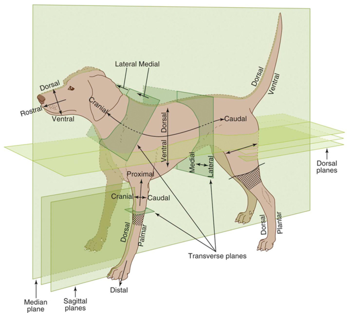 This graphic goes in to more detail than is needed for a basic understanding, but it provides a good visual representation of the planes in place on a dog.