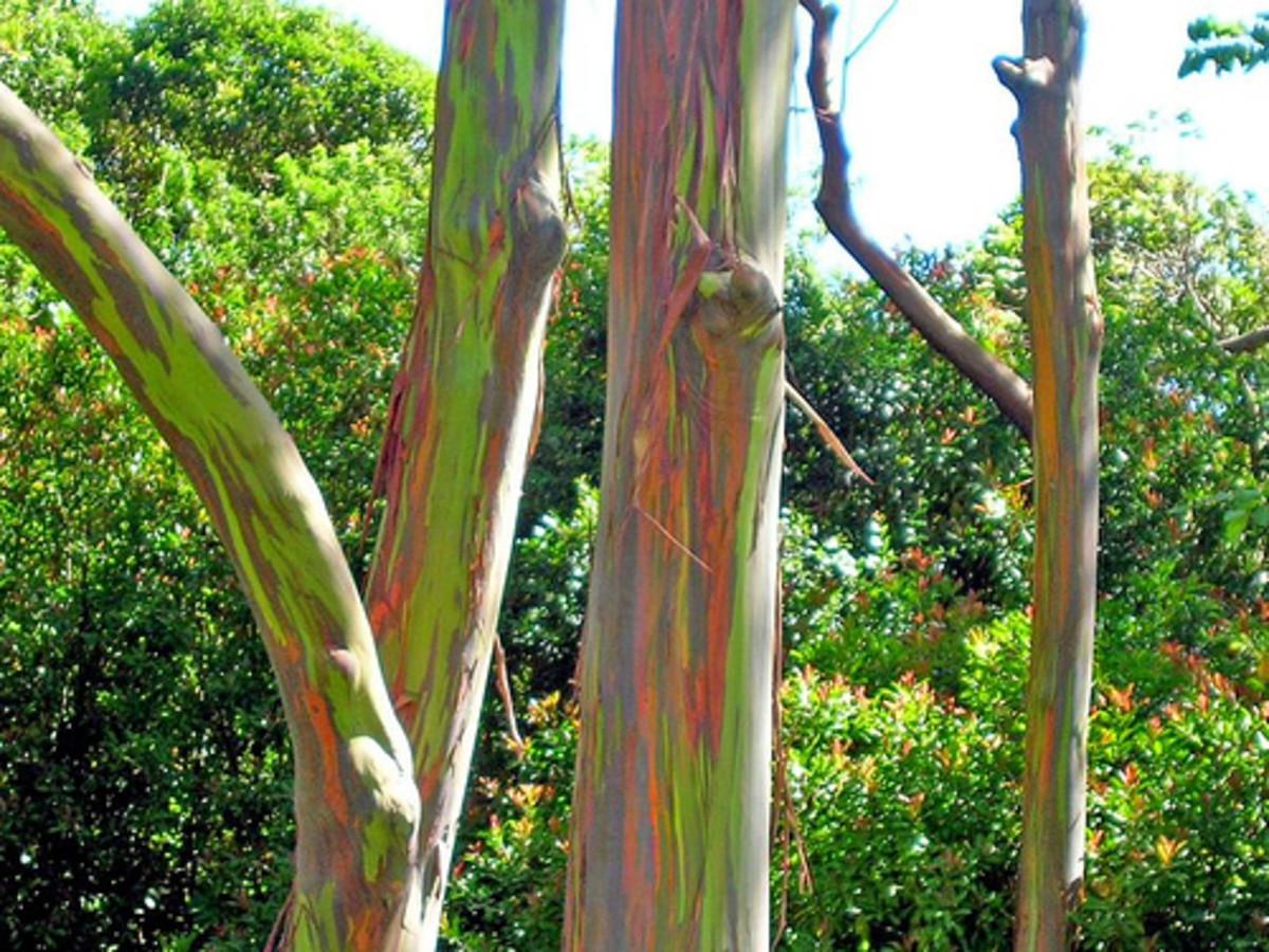 Rainbow eucalyptus has colorful branches.