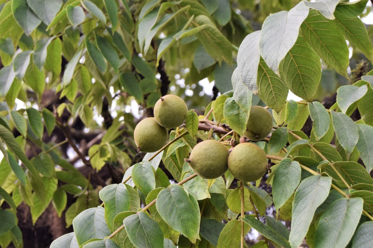 The fruits and leaves of manchineel, the world's most dangerous tree.