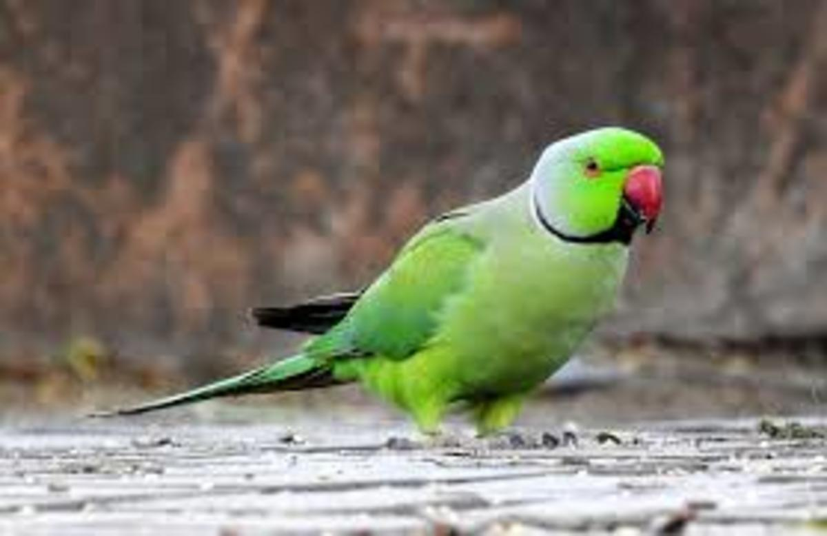 Raising an Indian Parakeet