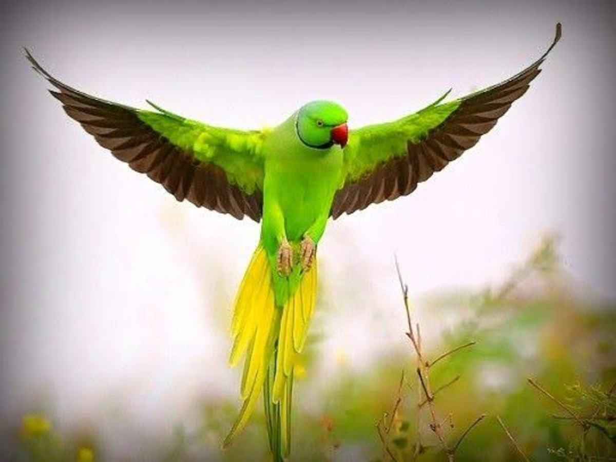 Indian ring-necked parakeet in flight
