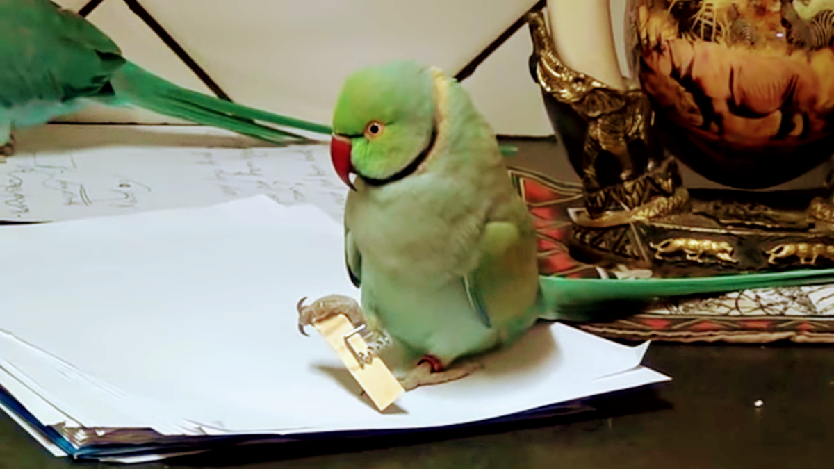 An angry Indian ring-necked parakeet