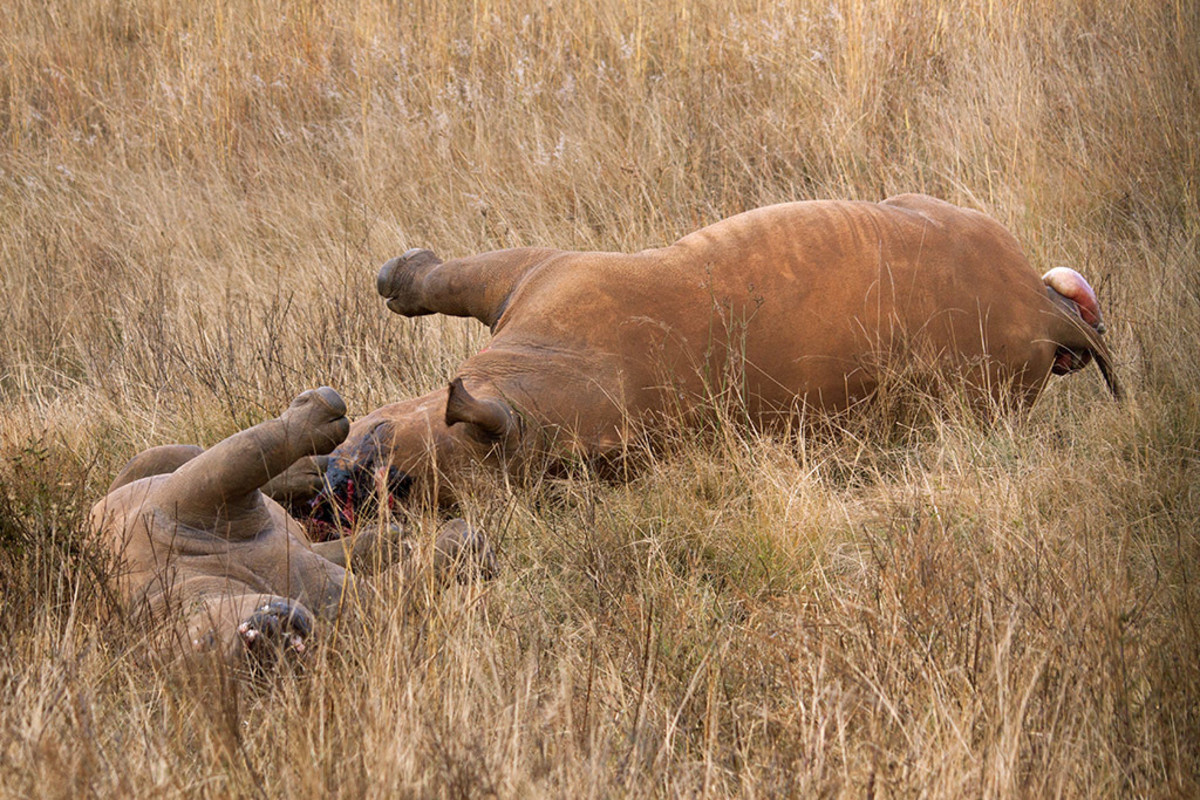 A rhino mother and calf killed for their horns.
