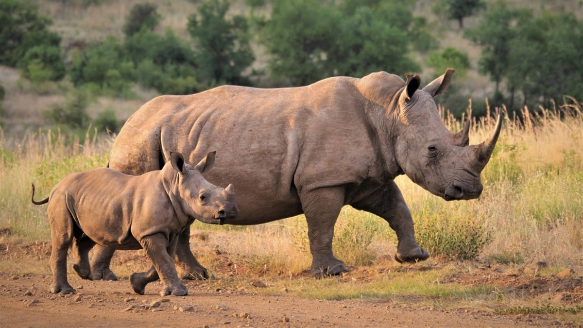 A white rhino mother and calf.