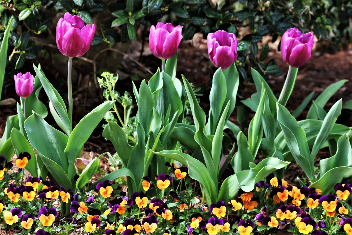 Purple Tulips and Pansies