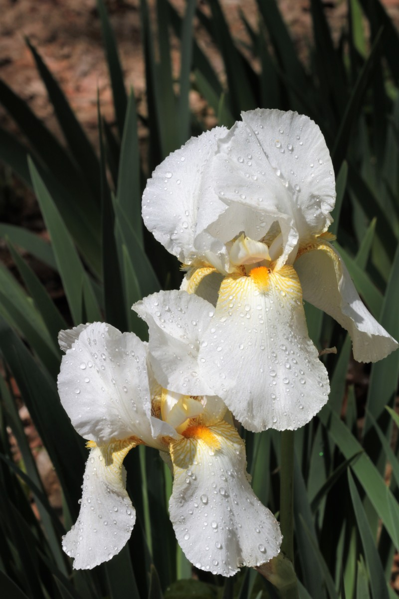 Two White Bearded Iris with Rain Drops