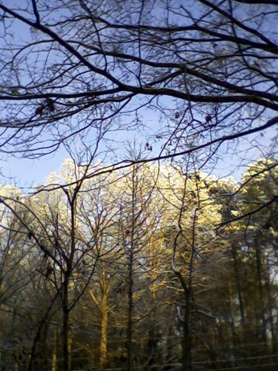 Snowy treetops just after sunrise, February 10, 2011.  Image by author.