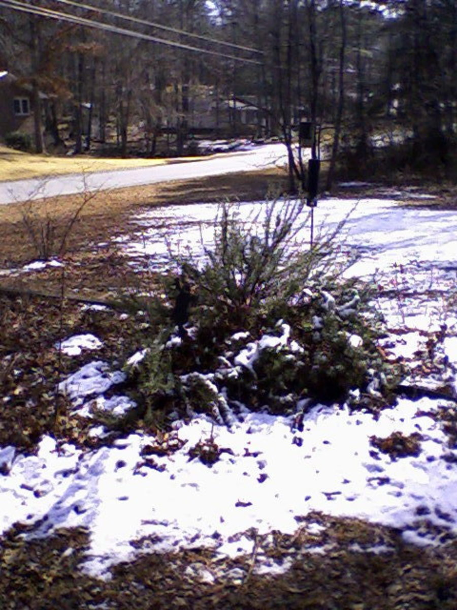 Rosemary shrub, February 10, 2011, about 11:30 AM.  Photo by author.