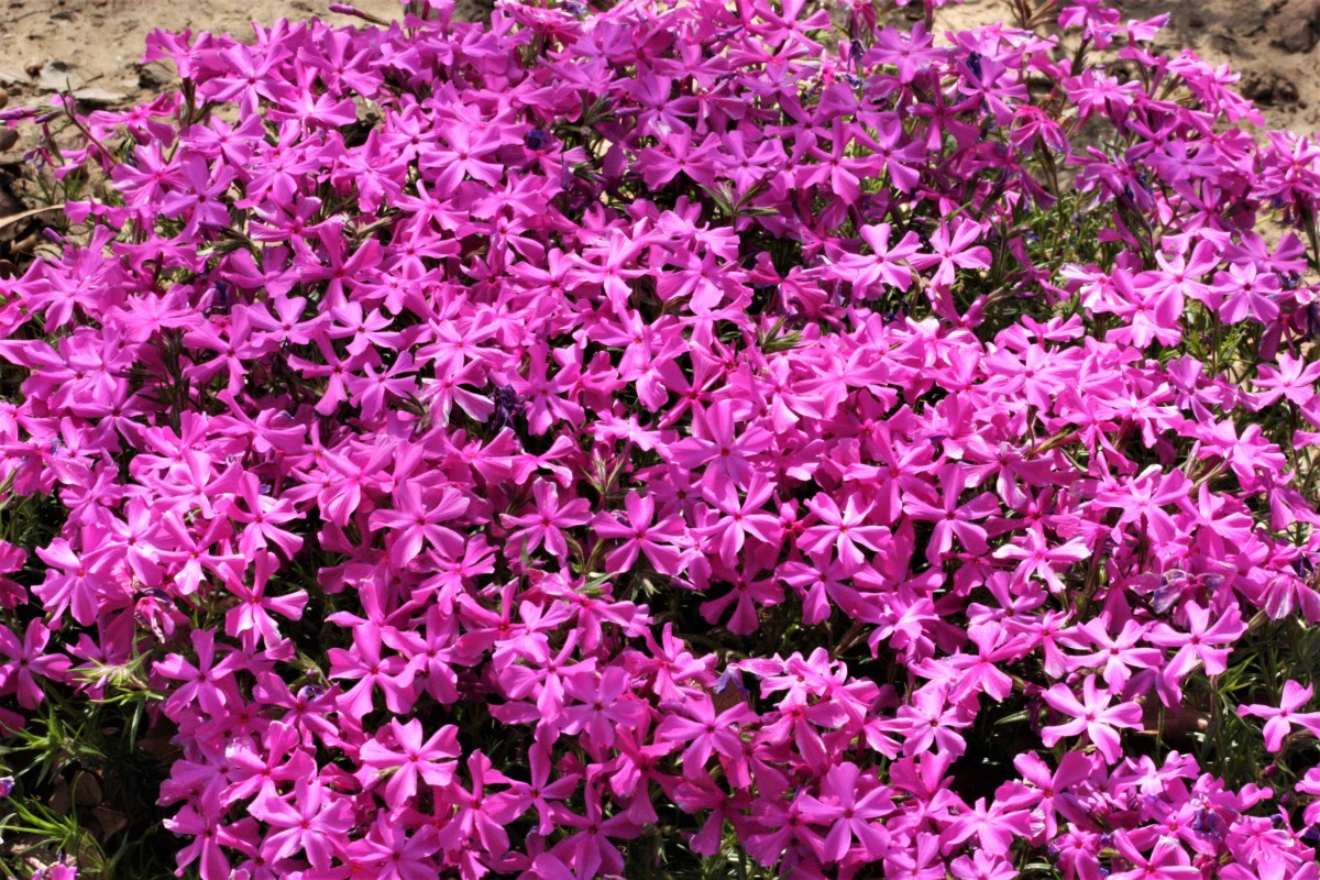 Close-up of pink creeping phlox.