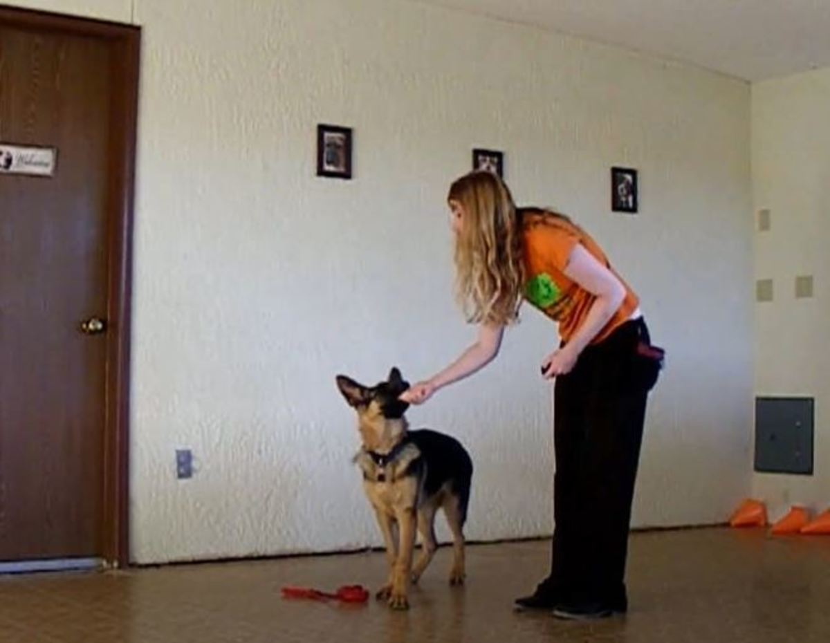 Only this German shepherd puppy's gentle mouthing/licking gets me to release the tasty treats.