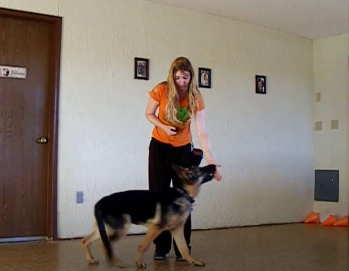 Hand targeting helps reduce and eventually stop German shepherd puppy nipping.