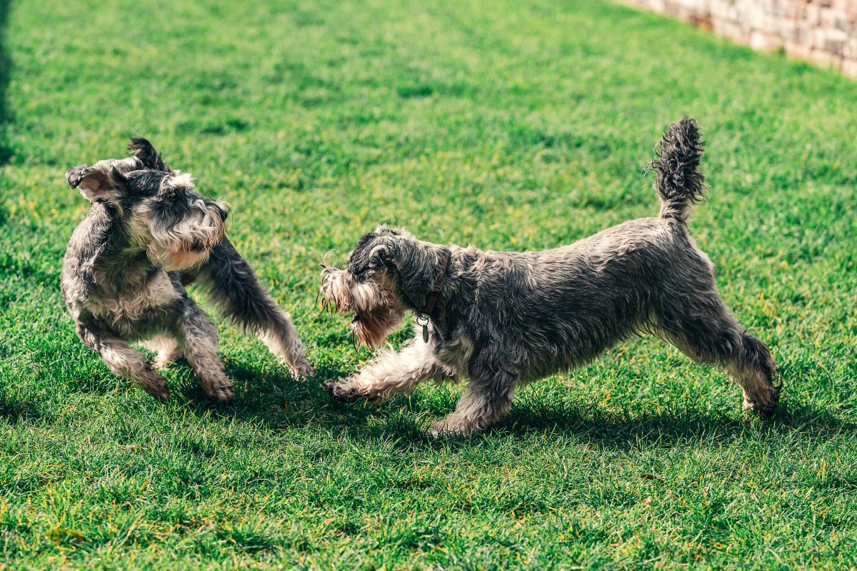 Dogs will exhibit this behavior because of dominance.
