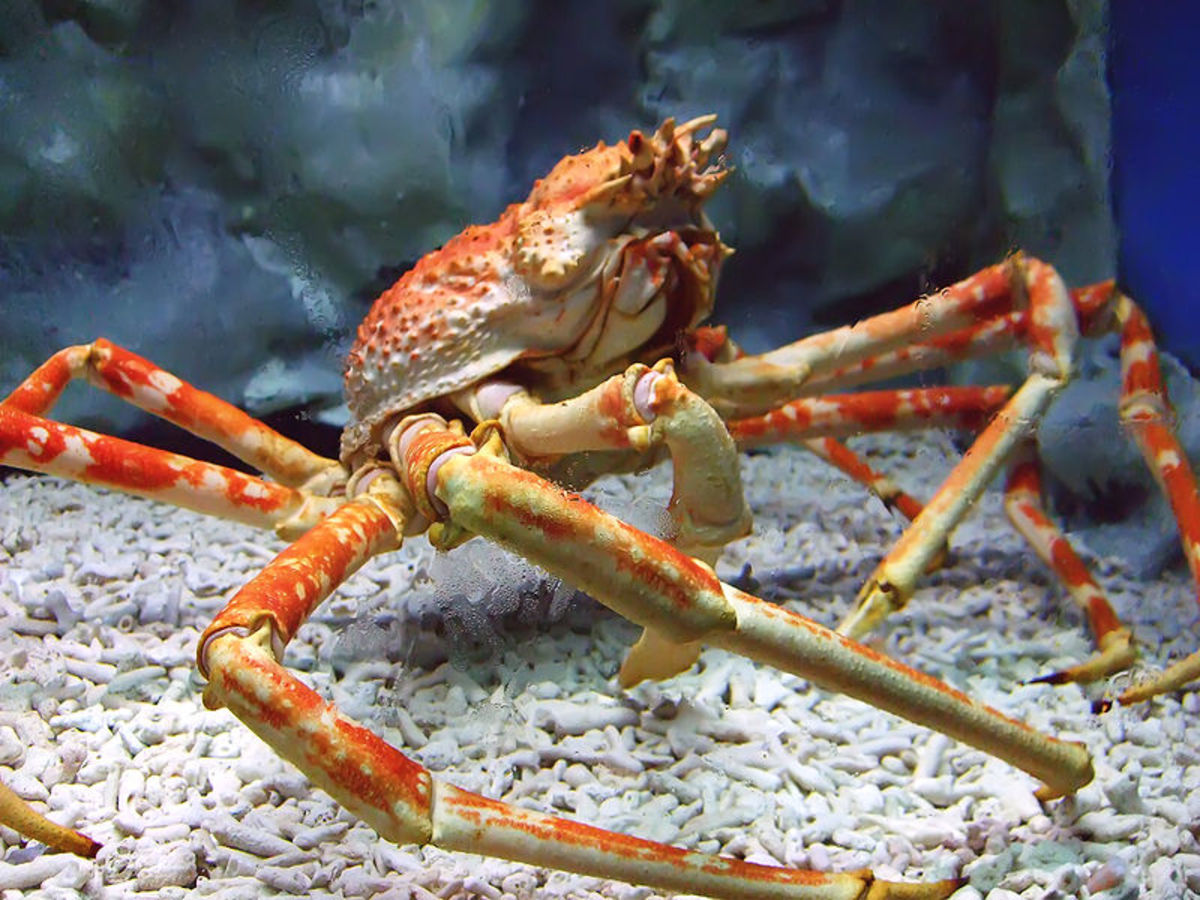 The Japanese Spider Crab - It's a crustacean. It's a crab. It's not a spider. The Japanese Spider Crab is the Biggest Crab in the World.   Image Credit: Charles Laigo - Wikipedia Commons