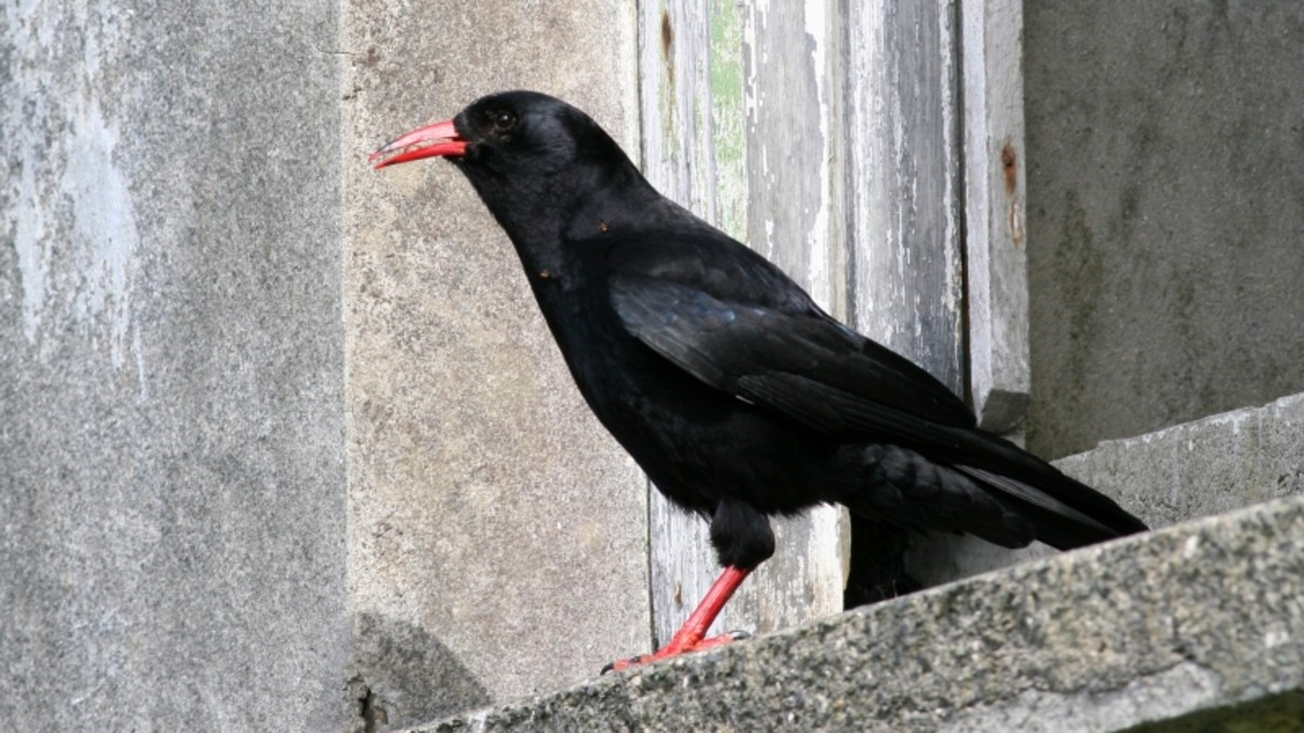 Clever and good at mimicry - the striking Chough