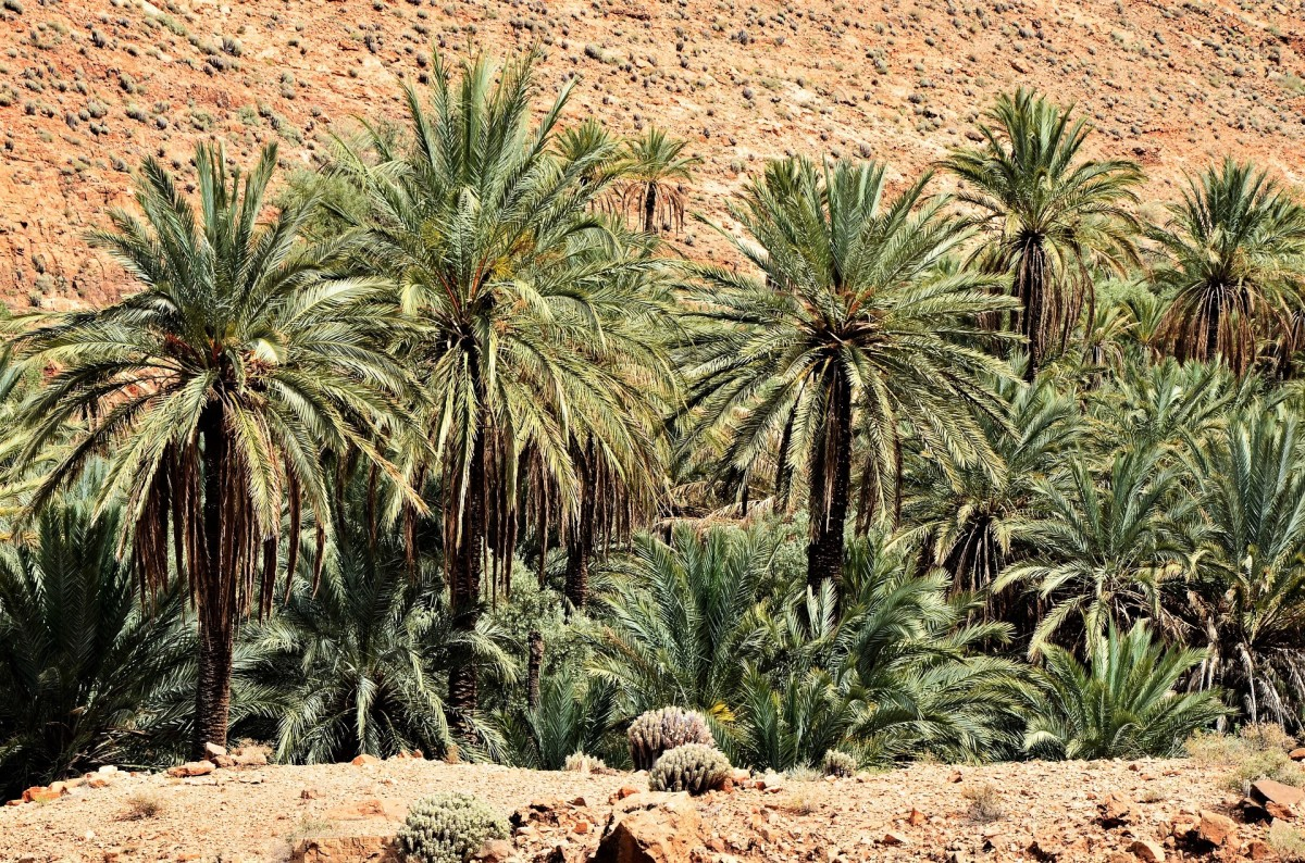 Sturdy date palm trees in Northern Africa