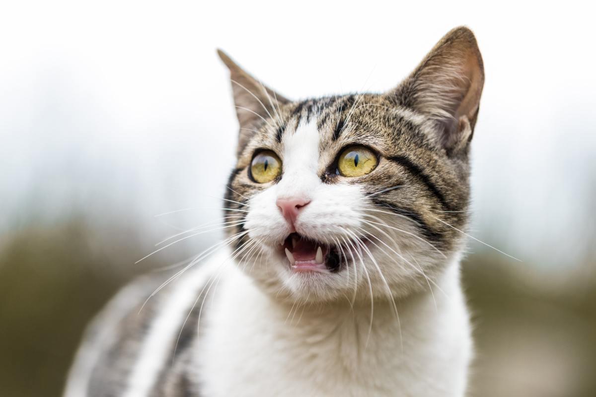 ¿Por qué los gatos maúllan?