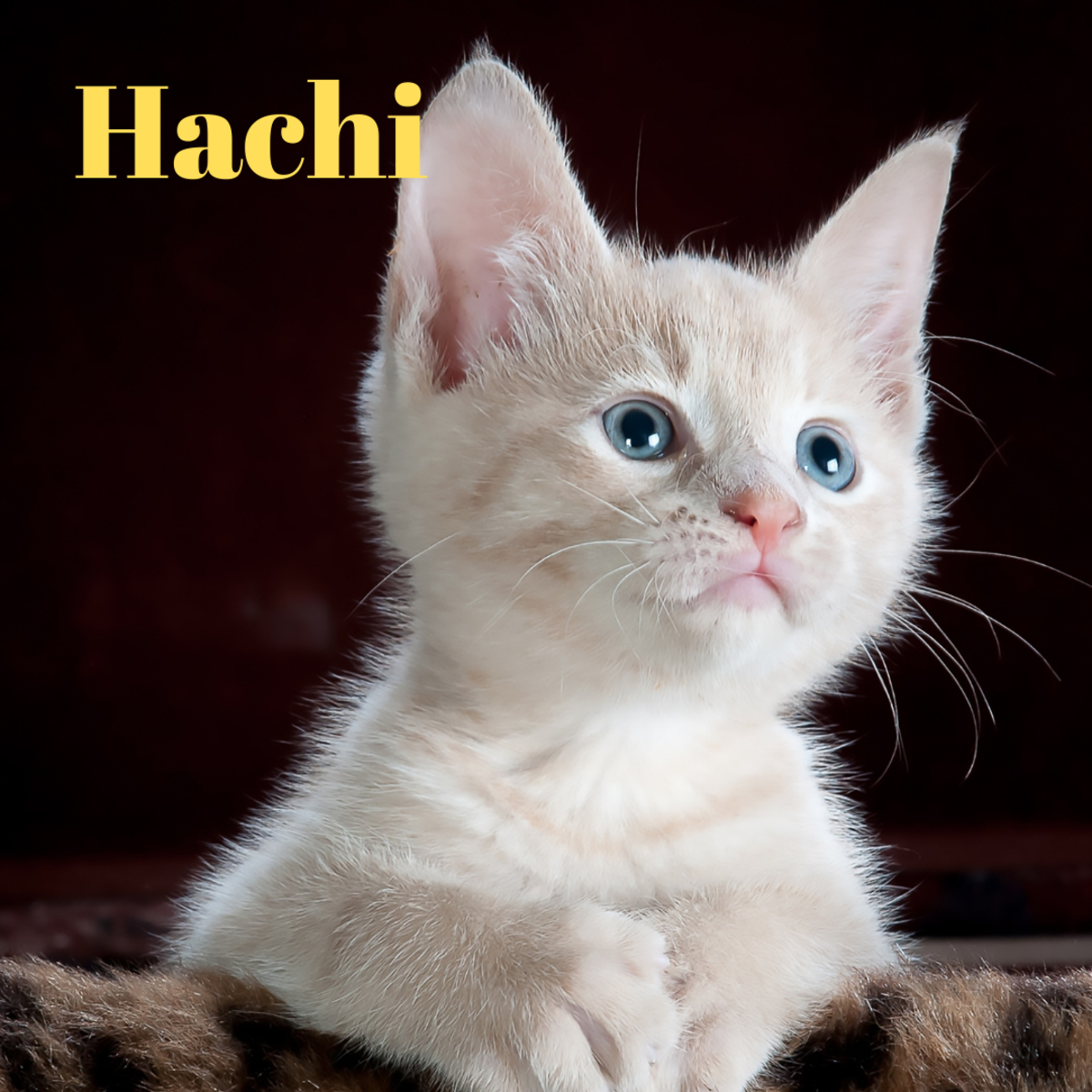 A kitten named Hachi