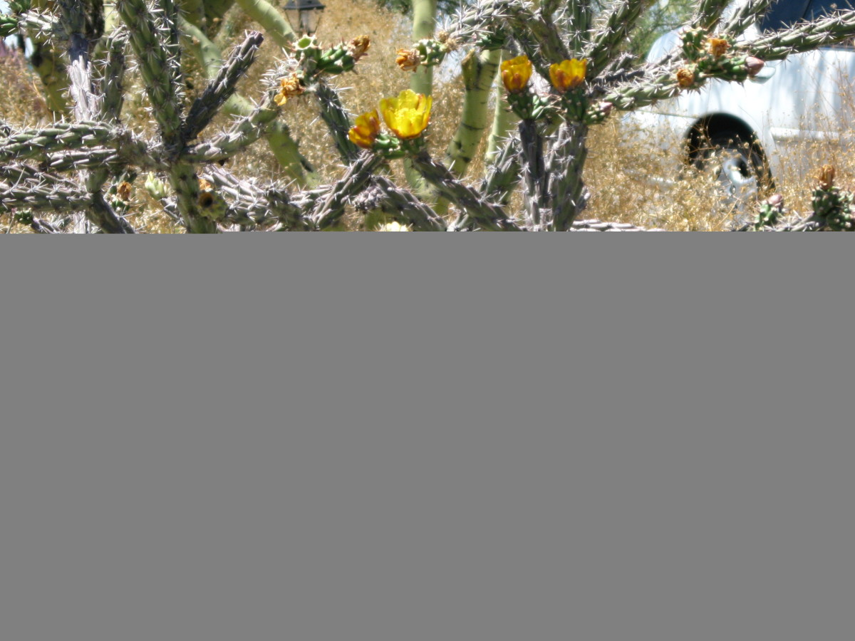 Cholla Cactus in bloom with yellow flowers