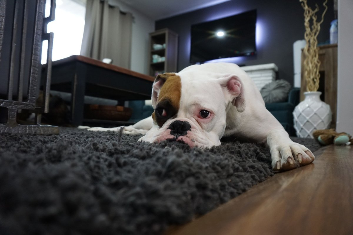 White Boxer in docile relaxed state.