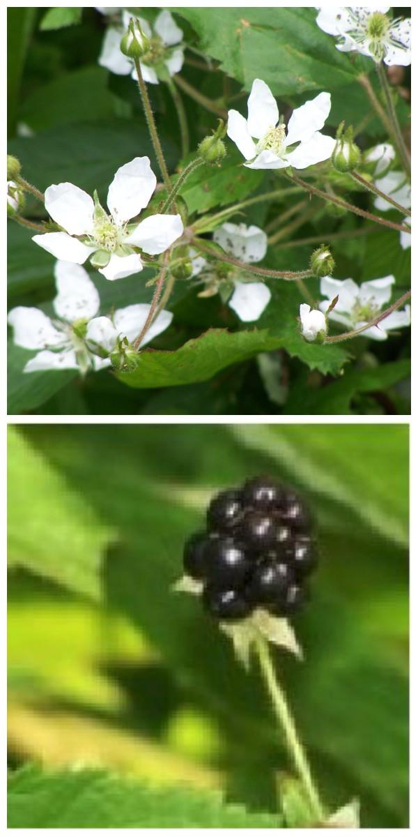 Blackberries In Our Yard