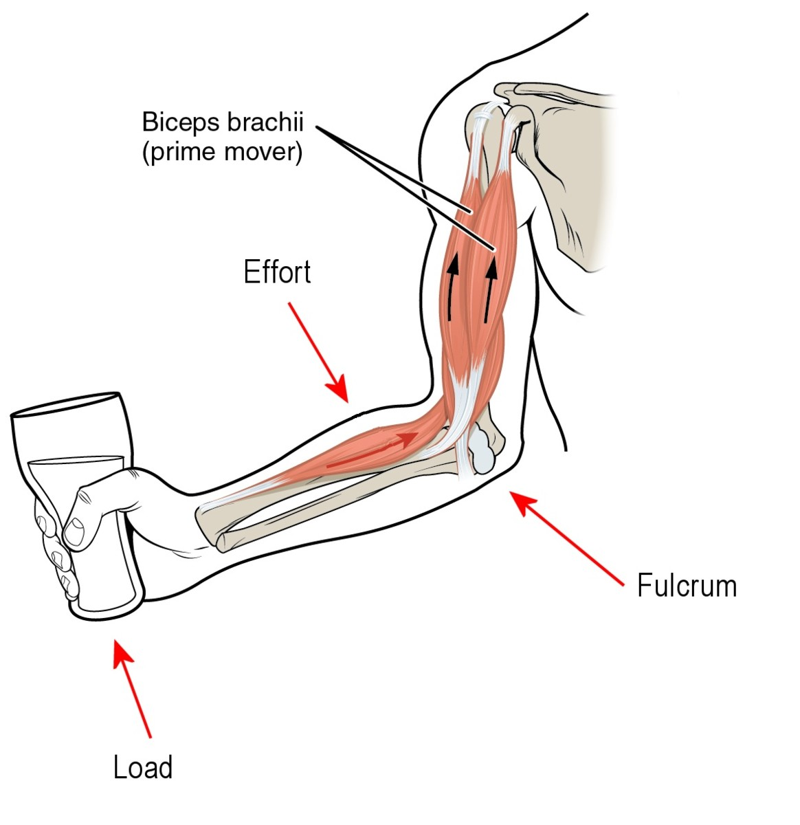 The bones in our arms and other part of the body are third class levers.